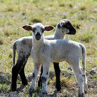 Cute Lamb Photo Farm Animal Nursery Decor by NatureVisionsToo