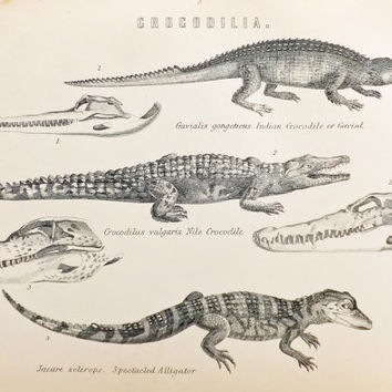 Crocodiles, Black and White Print of Crocodiles, Alligators, Reptiles, Antique Print, 1880s, Home Decor, Crocodilia