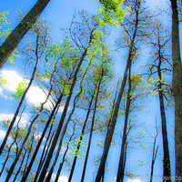 Spring Tree Photo, Forest Nature Photograph, Spring Photo, Eastern Shore Wetlands Photo, Green, Blue Sky Photograph, Home Decor, Clouds