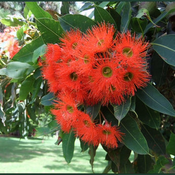 Red Eucalyptus, Eucalyptus Corymbia ficifolia, 15 seeds, showy blooms, fragrant foliage, drought tolerant, zones 9 to 11, hummingbird heaven