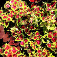Heirloom 100 Seeds Coleus hybridus Rainbow Improved Painted Nettle Flower Bulk Seeds S037