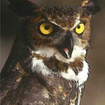 Great Horned Owl by Carol Gault Fine Art Print