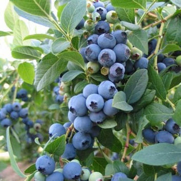 200 Blue Berry Northern (Vaccinium Myrtillus) Blomidon Highbush Blueberry Bush Corymbosum Fruit Seeds Garden Plant Home Decor non-GMO