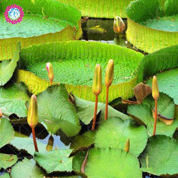 2pcs Lotus bowl flower seeds Giant Waterlily lotus seeds for home garden outdoorCourtyard