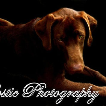 8x10 Chocolate Lab Photo,Chocolate Labrador Retriever Photography,Dog,Pet,Animal,Photo,Photography,Dog Lover Gift,Living Room,Country Decor