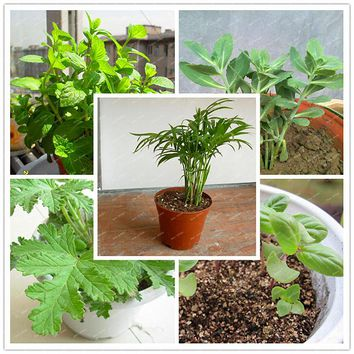 200PCS/package Mosquito Repellent Grass Seeds Home and Garden Chinese Bonsai Perennial Plant Easy planting Indoor Plant pots