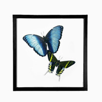 Framed Green and Blue Banded Moth / Butterfly