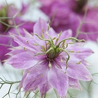 Love in a Mist Rose Flower Seeds (Nigella Damascena) 50+Seeds