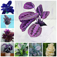 Thailand Calathea Seeds Potted Flowers Seeds Balcony Bonsai Plant For Garden & Home Four Seasons Planting,Easy to Grow 100PCS