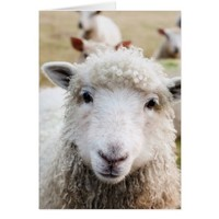 Cute woolley sheep card