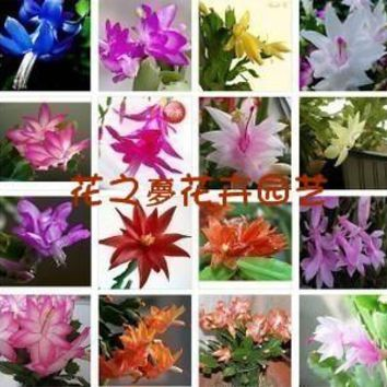 Lunar New Year flower seed  schlumbergera colorful blue schlumbergera listed full color 10 seeds