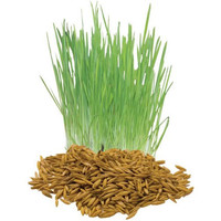 Cat Grass Seed- From The Dirty Gardener (non GMO)