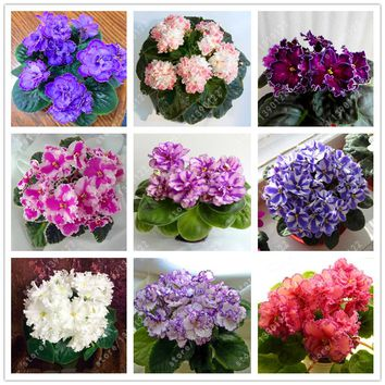 50 pcs/bag Real african violet seeds, bonsai flower seeds for home garden plant Perennial Herb high budding potted plants