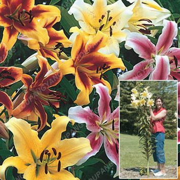 200pcs/bag Rare Lily bonsai Not Lily Bulbs It Is bonsai Bonsai Lily Flower bonsai Pleasant Fragrance Plant For Home & Garden