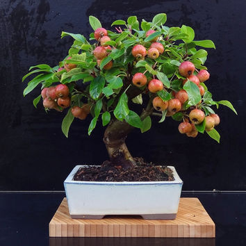 7 Mini Apple Fruit Bonsai Seeds, Bonsai Mini Apple Tree, Apple Bonsai Fresh Exotic Tree Seeds