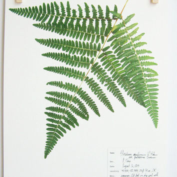 Bracken Fern Herbarium Specimen Print, Pressed Botanical Artwork, Real Pressed Fern Frond Print, Scientific Art, Pressed Leaves Art, no 49a
