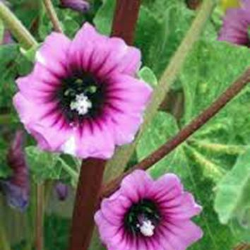 ROSE MALLOW, 25+ SEEDS, ORGANIC, BEAUTIFUL BRIGHT ROSE FLOWERS, FLOWER, GARDEN.
