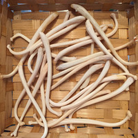 Raccoon Baculum