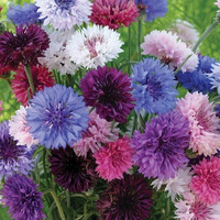 Cornflower Polka Dot Mix Seeds (Centaurea Cyanus) 50+Seeds