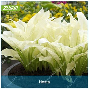 ZLKING 20pcs Hosta Plantaginea Seeds Flower Fire And Ice Shade White Lace Home Garden Ground Cover High Germination Rate Plant