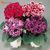 Gloxinia Seeds ( Mixing ) Flower Pot Planters Garden Bonsai Flower Seed 100 Particles / lot