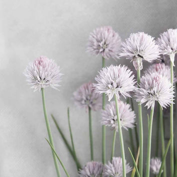 Lavender and Green Chives Flowers on Soft Gray - Fine Art Photo 11 x 14 FREE SHIPPING
