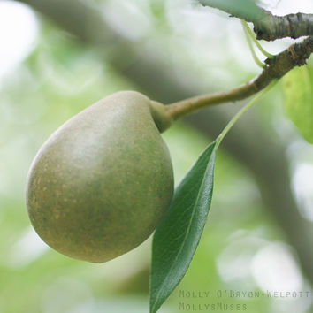 Fruit Photography - Green Pear Print - Natural Green Home Decor