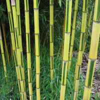 30 Gold Bamboo Tree Fresh Seeds | Phyllostachys Aureosulcata | Yellow Golden Bonsai Home Garden Decor Plants Growing Heirloom Seeds Outdoors