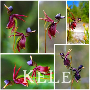 Series orchid plants seeds, flying duck orchid seeds like ducks balcony pot seeds 100 particles / bag,#O8GV9L