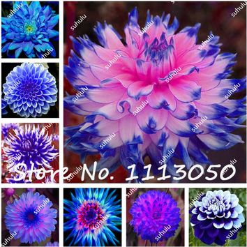 Big Promotion!!! 50Pcs Dahlia Seeds, Chinese Peony Bonsai Flower Seeds ,Ornamental Plants,Potted Seeds for home garden plantting