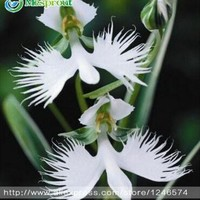 World's Rare Flower Japanese Radiata Seeds For Garden & Home, Planting White Dove Orchids Seeds, White Flower seeds ,50PCS seeds