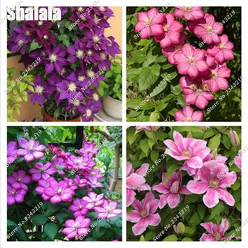 100pcs Bonsai Clematis Bulbs Wire Lotus Plant Seeds Multicolor Perennial Flowers Climbing Clematis Plants For Home Garden