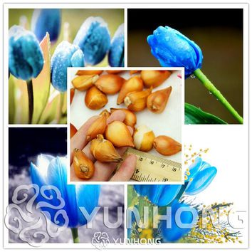Rare Blue Tulips Flowers Seeds Bonsai Tulip Seed Flower Plants Beautiful Aromatic Plants 5 Particles  It is Bulb (Not Tulip Seed