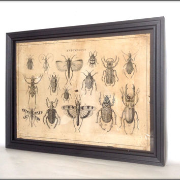 Aged reproduction Victorian entomology illustration in frame.