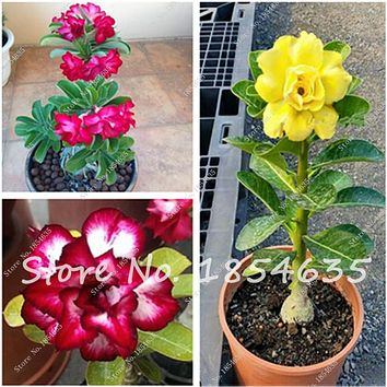 Hot 100% true Desert Rose Seeds Ornamental Plants Balcony Bonsai Potted Flowers Seeds Adenium Obesum Seed -5 Pcs Free Shipping