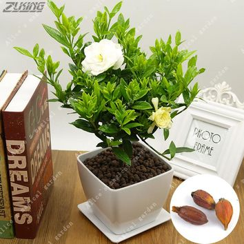 ZLKING 2PCS Gardenia Bulbs Cape Jasmine Seed Fragrant Exotic Shrub Open Pollinate Rare Beautiful Bonsai Plant Indoor Flower Seed