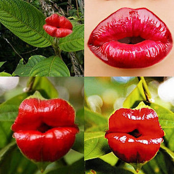 20pcs Sexy Red Lip Flower Seeds Garden Park Yard Plant Psychotria Elata Seeds TB