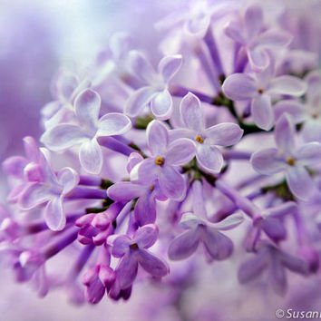 Flower Photography, Lilac Blossoms, Fine Art Matted Print, Spring Time, Lavender Purple, Soft Delicate, Home Decor