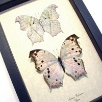 Mother Of Pearl Pair Real Butterfly Conservation Display 200P