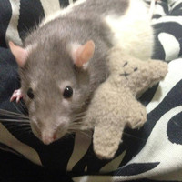 Teddy Bear toy for rats or cats