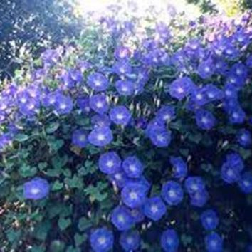 MORNING GLORY, HEAVENLY BLUE, 25+ SEEDS ORGANIC, BEAUTIFUL BLUE SEASON LONG BLOOMS