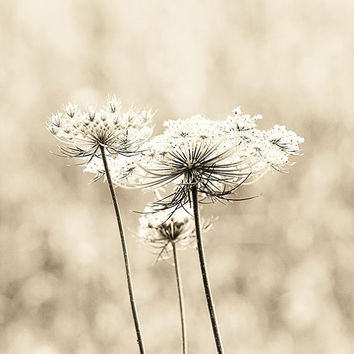 fine art flower photography queen annes lace by eireanneilis