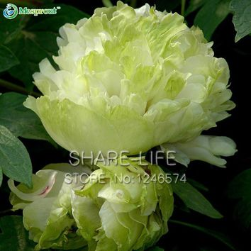 Green Peony Flowers Seeds Potted Plants And balcony Flower Chinese Paeonia Suffruticosa Seeds 10 PCS