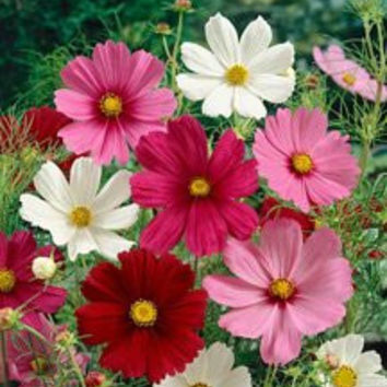The Dirty Gardener Heirloom Cosmos Bipinnatus Sensation Flower Mix