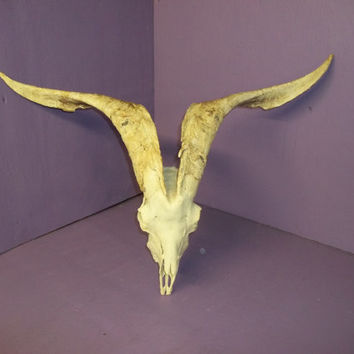 Real animal bone goat skull and horn teeth antler part piece sheep man cave wall display dead art craft rare