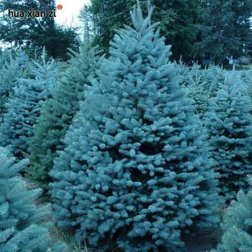 Bonsai Blue Spruce Seeds Picea Pungens Seeds Evergreen Tree 100 particles / bag