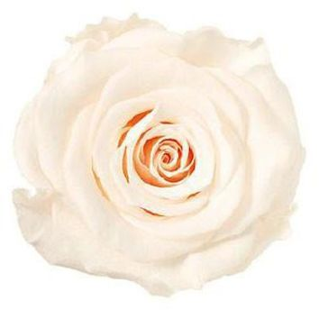"""Preserved Flowers - Rose Heads in Champagne8 Blooms per Box2"""" Diameter"""