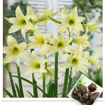 2 Bulbs Amaryllis Bulbs True Green Hippeastrum Bulbs Flowers(Not Seeds),Barbados Lily Potted Home Garden Balcony Plant Bulbous