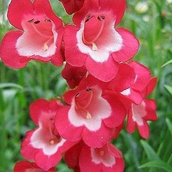 Penstemon Scarlet Queen Flower Seeds (Penstemon Hartwegii) 200+Seeds