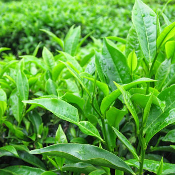 20 Organic Green Tea Tree Seeds | Indoor Outdoor Bonsai Plant DIY for Healthy Home Garden Heirloom Penerials Decor | Camellia sinensis Shrub